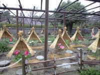 筥崎宮神苑花庭園の冬ぼたん
