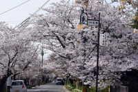 松崎桜馬場の桜