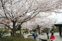 石橋文化センターの桜