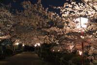 丸山公園花まつり