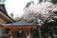 呑山観音寺の桜