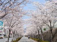 小郡高校前の桜