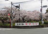 荒木町鷲塚公園桜まつり