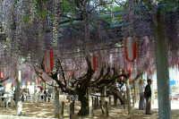浄光寺の藤